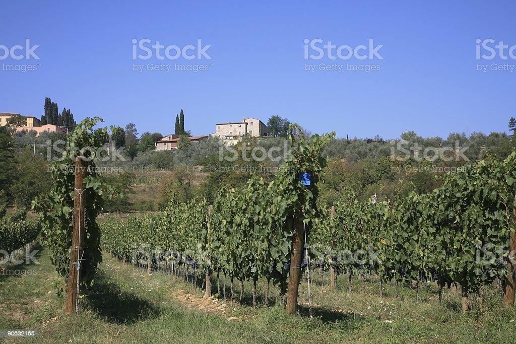 Vineyard in Chianti Summertime stock photo