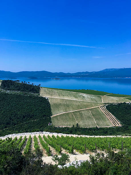 Vineyard in Dalmatian coast, Croatia ストックフォト