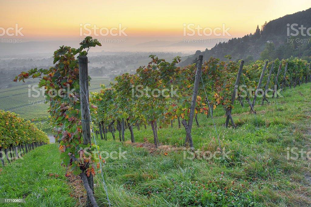 Vineyard in dawn royalty-free stock photo
