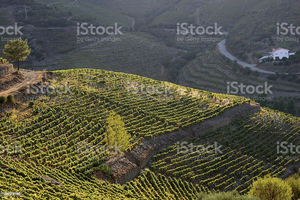 Vineyard in Douro Valley royalty-free stock photo