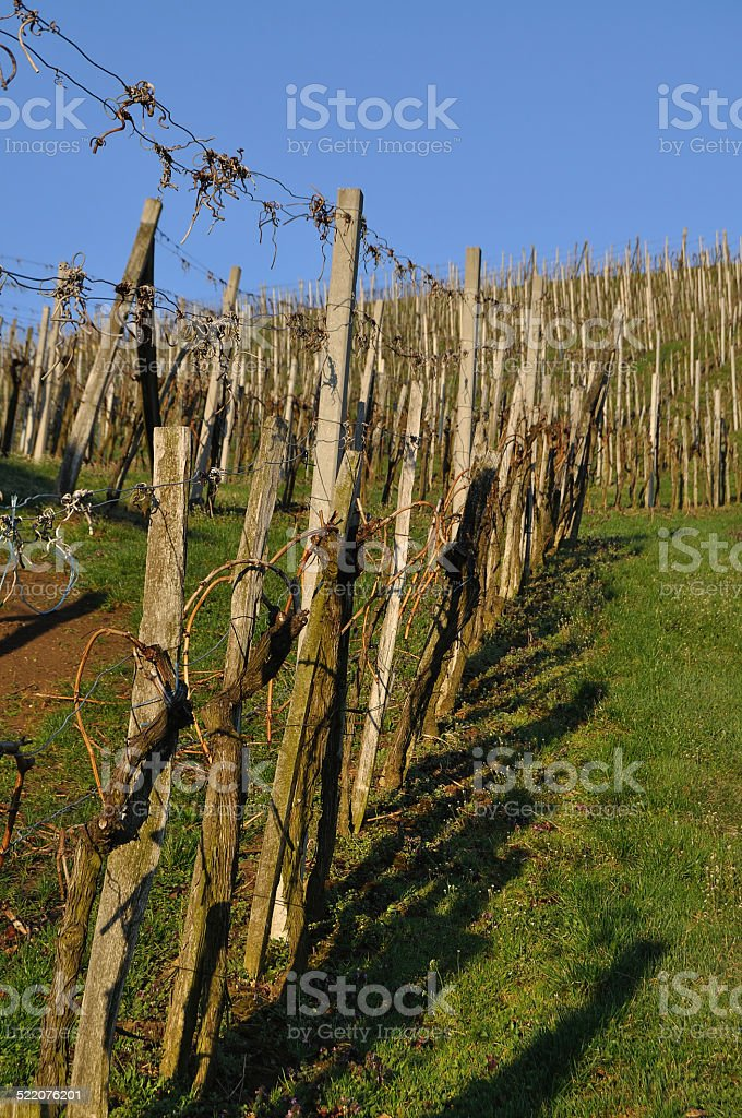 Vineyard in early spring morning light, Klöch, Southern Styria, Austria stock photo