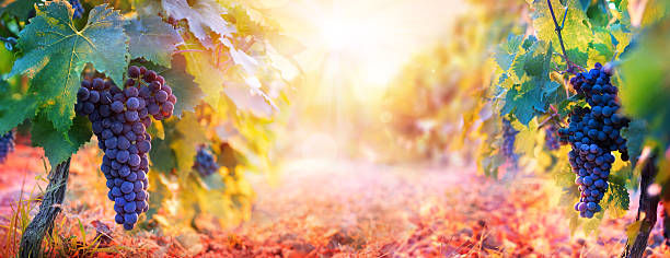 Vineyard In Fall Harvest With Ripe Grapes At Sunset stock photo