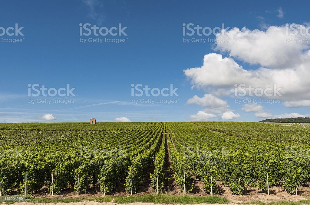 Vineyard in France stock photo