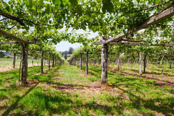 Vineyard in Galicia stock photo