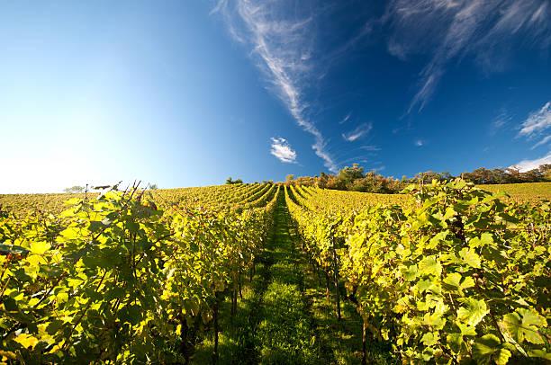 Vineyard in Germany stock photo