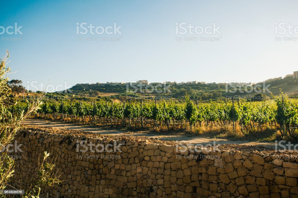 Vineyard in Gozo Island, Malta royalty-free stock photo