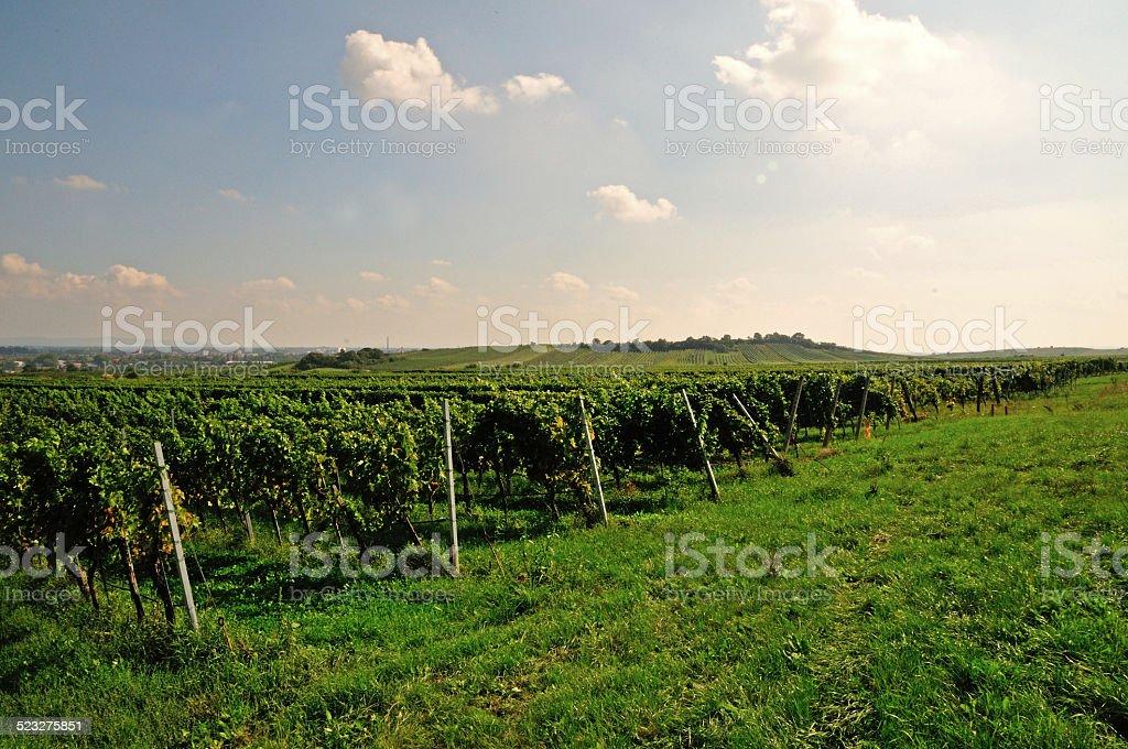 Vineyard in Gumpoldskirchen, Austria stock photo