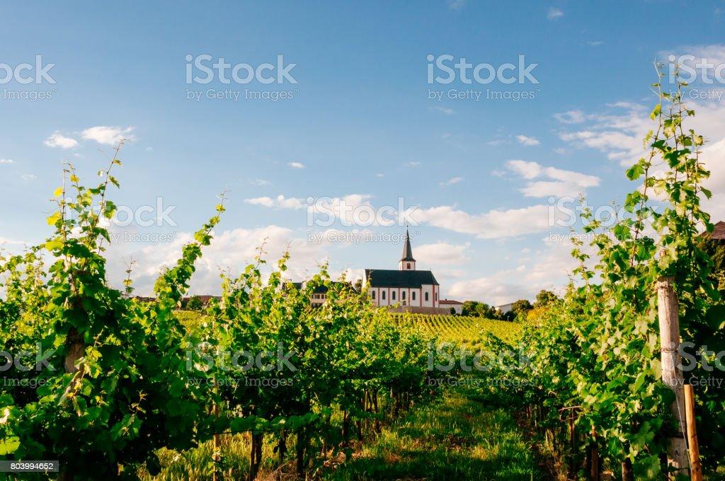 Vineyard in Hochheim stock photo