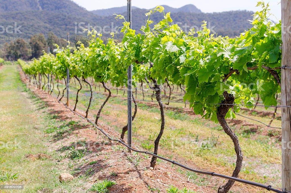 Vineyard in Hunter Valley, NSW, Australia stock photo