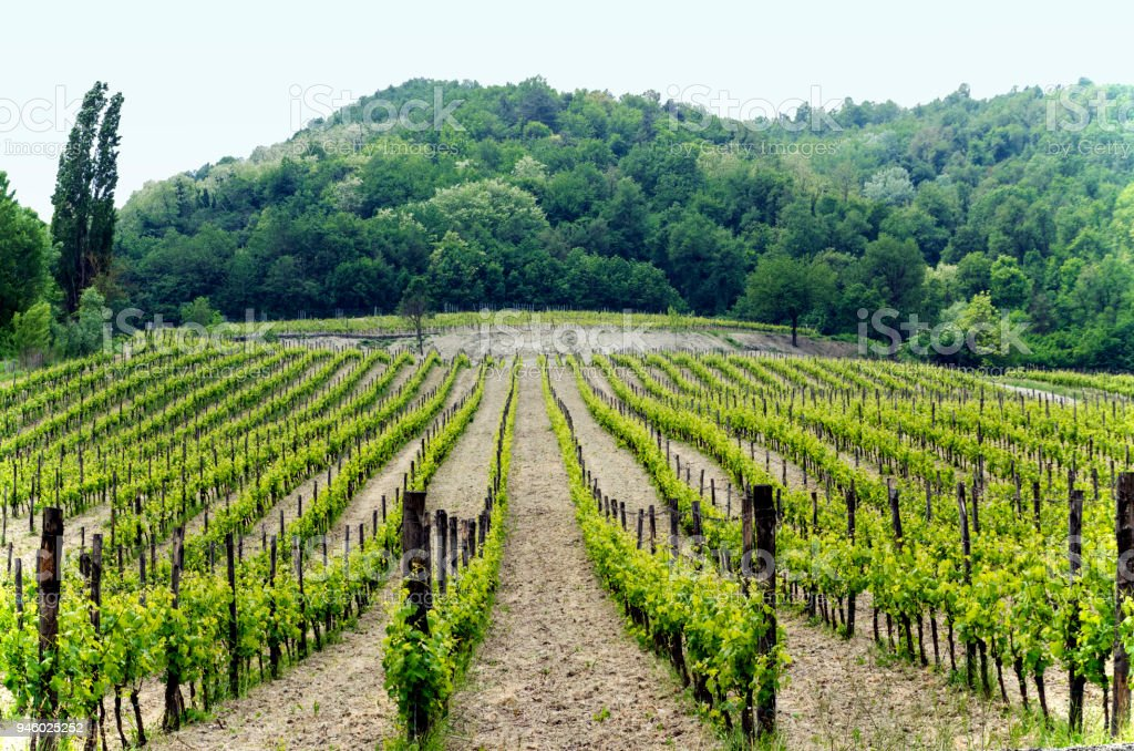 Vineyard in Italian northern valley, in a cloudy day - foto stock