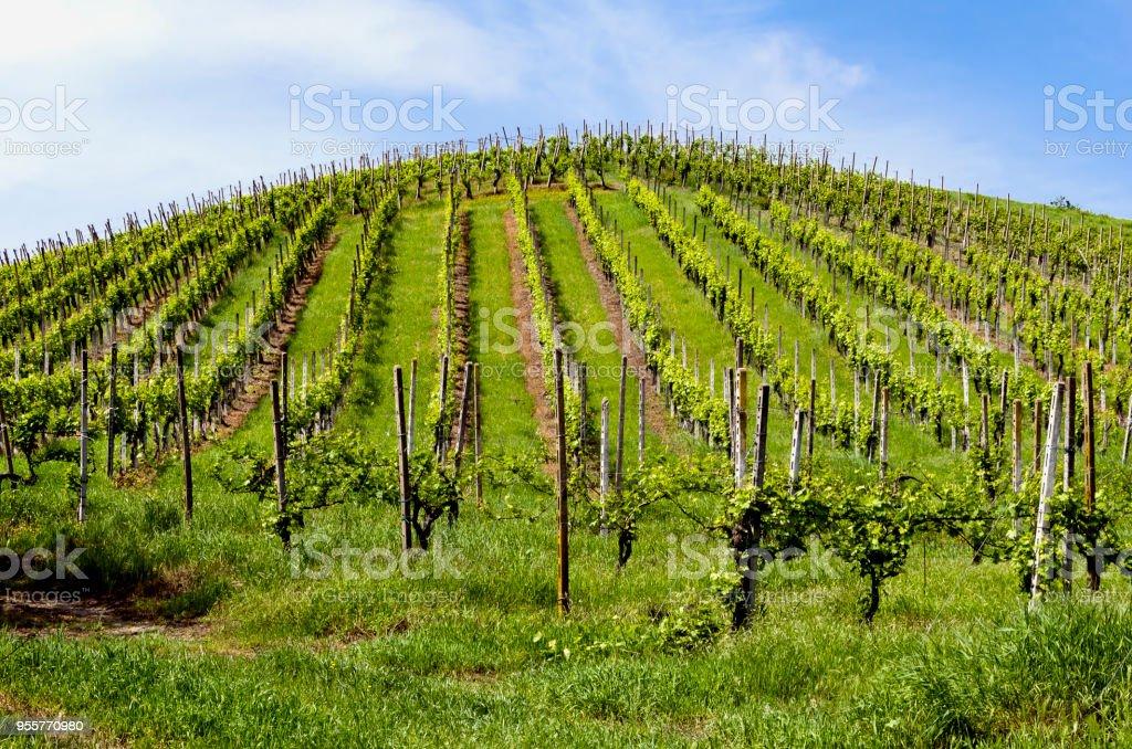 Vineyard in Italian valley, in a sunny day - foto stock