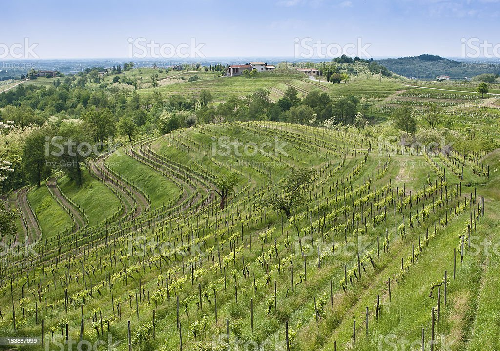 Vineyard in Italy with beautiful rolling landscape. stock photo