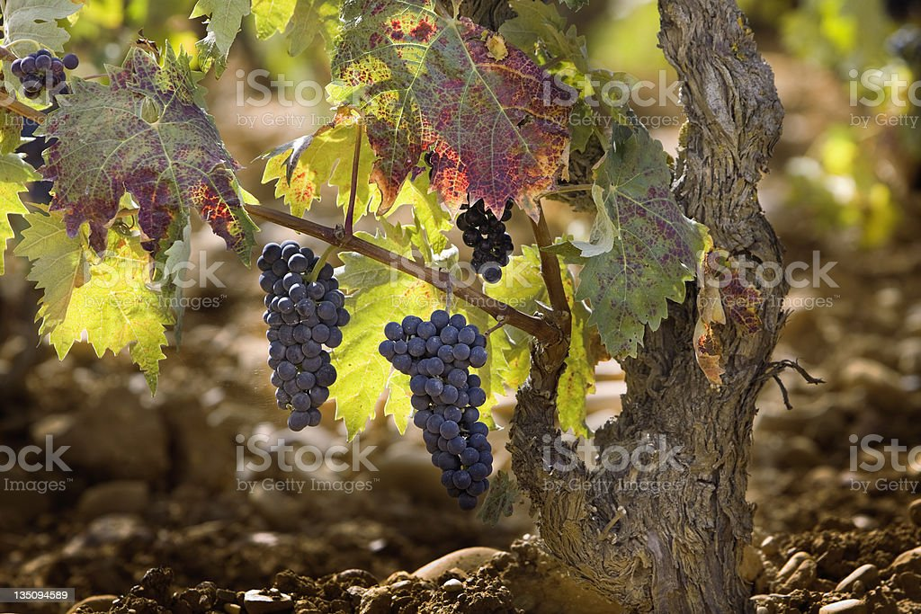 Vineyard in La Rioja (Spain) royalty-free stock photo