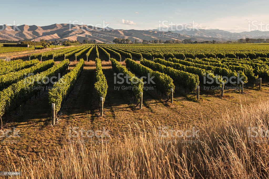 vineyard in Marlborough, New Zealand stock photo
