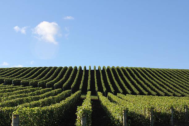 Vineyard in Matakana, New Zealand stock photo