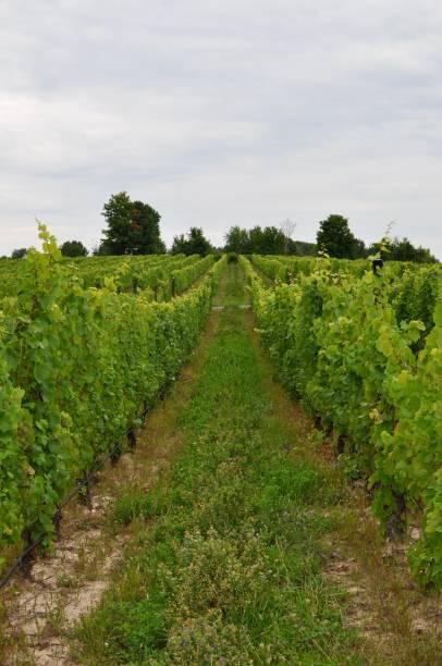 vineyard in michigan - kurjanphoto stock pictures, royalty-free photos & images