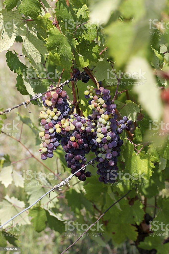 vineyard in Monferrato - Italy royalty-free stock photo