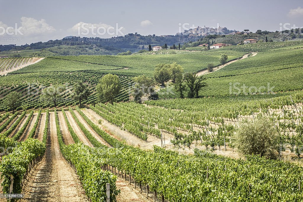 Vineyard in Montepulciano, Tuscany, Italy stock photo