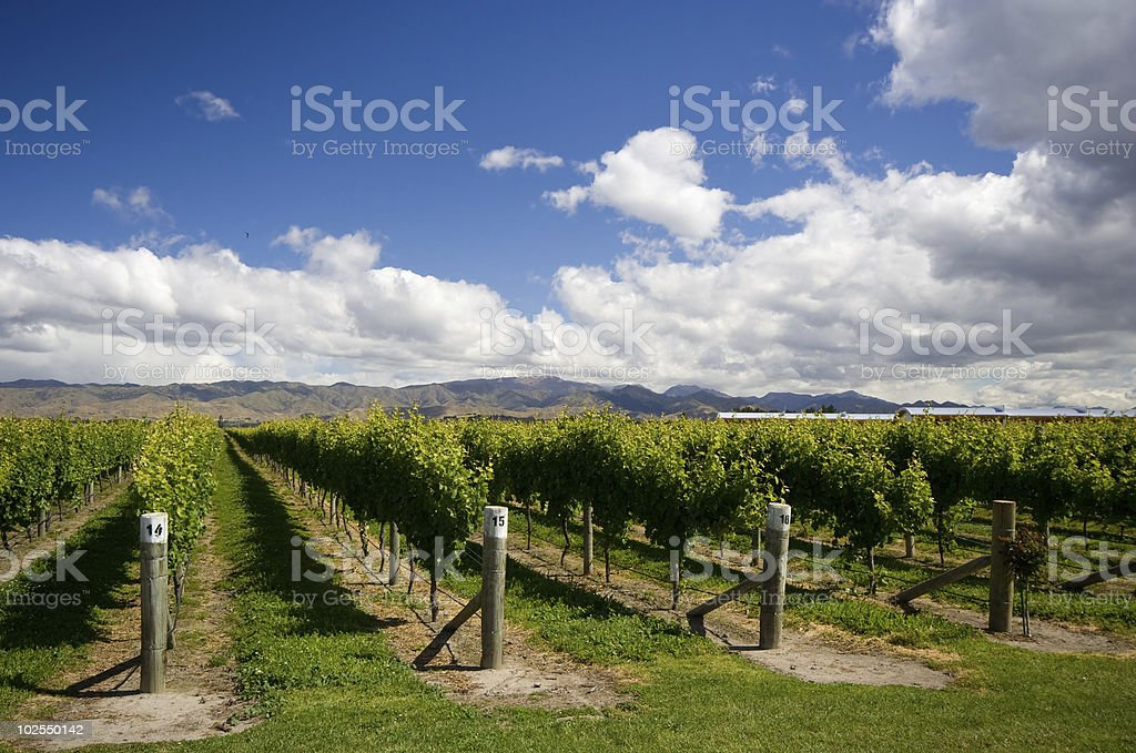 Vineyard in New Zealand stock photo