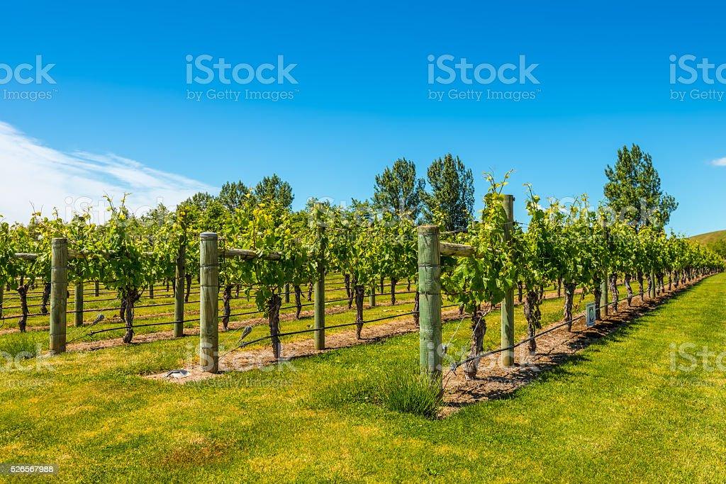 Vineyard in North Island - New Zealand stock photo