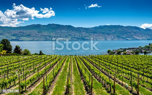 Rows of grapes lead down to the waters of Okanagan Lake near Kelowna, with the Rocky Mountains, blue sky and white clouds in the background.