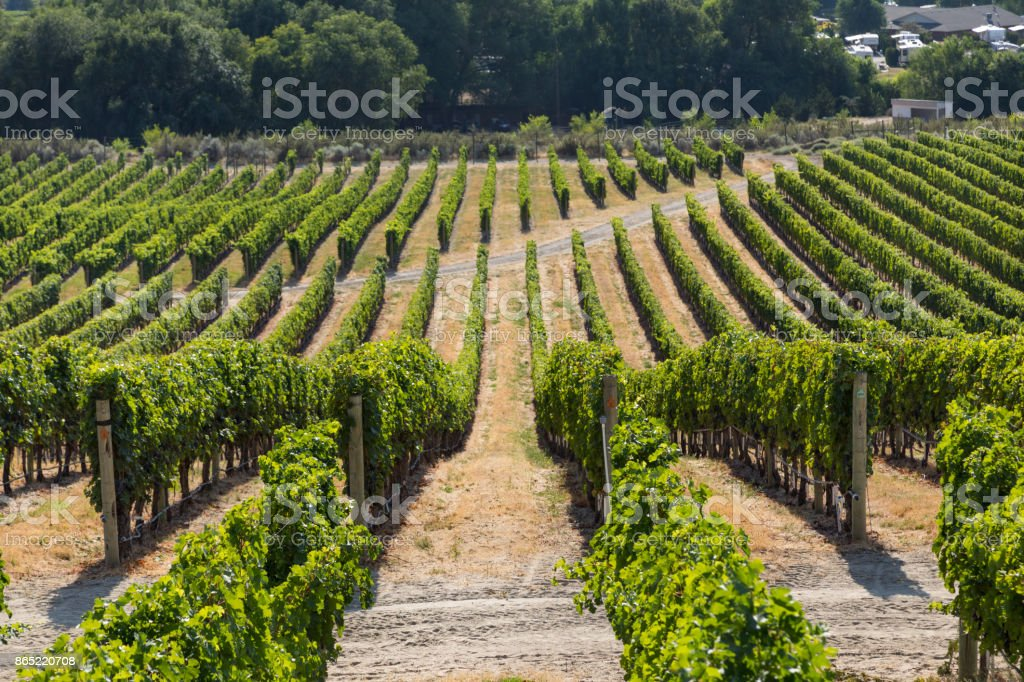 A Vineyard in Osoyoos, British Columbia, Canada during summer season. stock photo