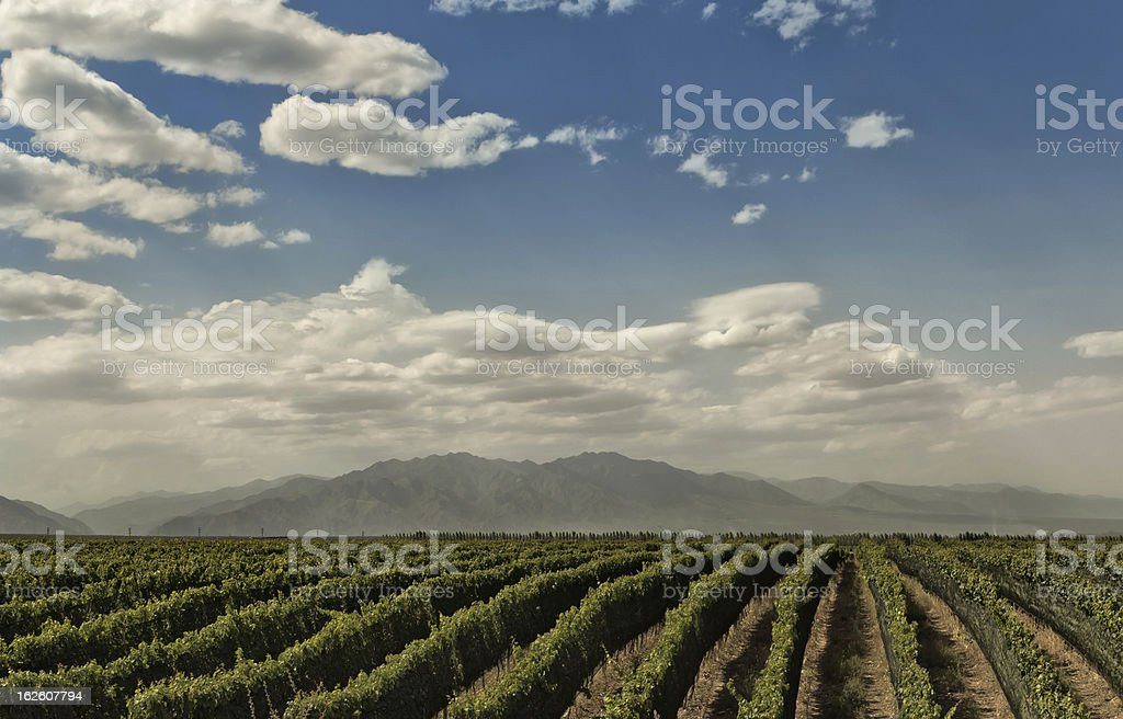Vineyard in perspective royalty-free stock photo