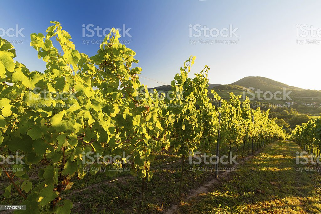 Vineyard in Pfalz with hills and blue skies, Germany stock photo