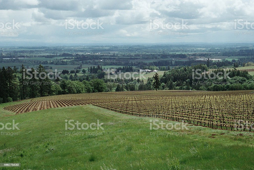 Vineyard in Portland, Oregon stock photo