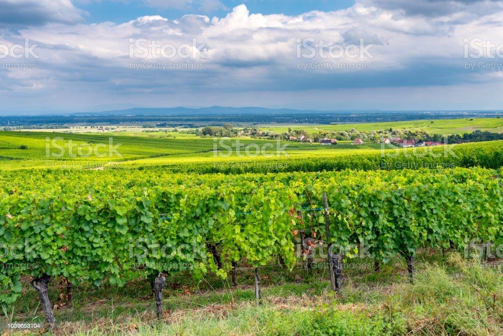 vineyard in Ribeauville – zdjęcie