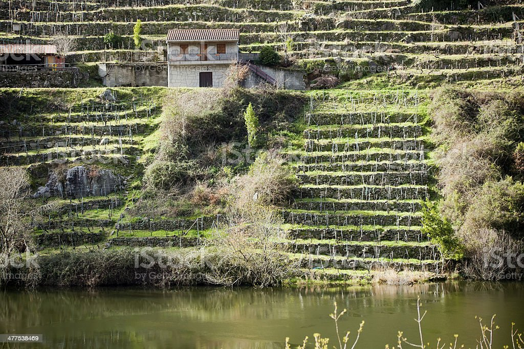 Vineyard in Ribeira sacra royalty-free stock photo