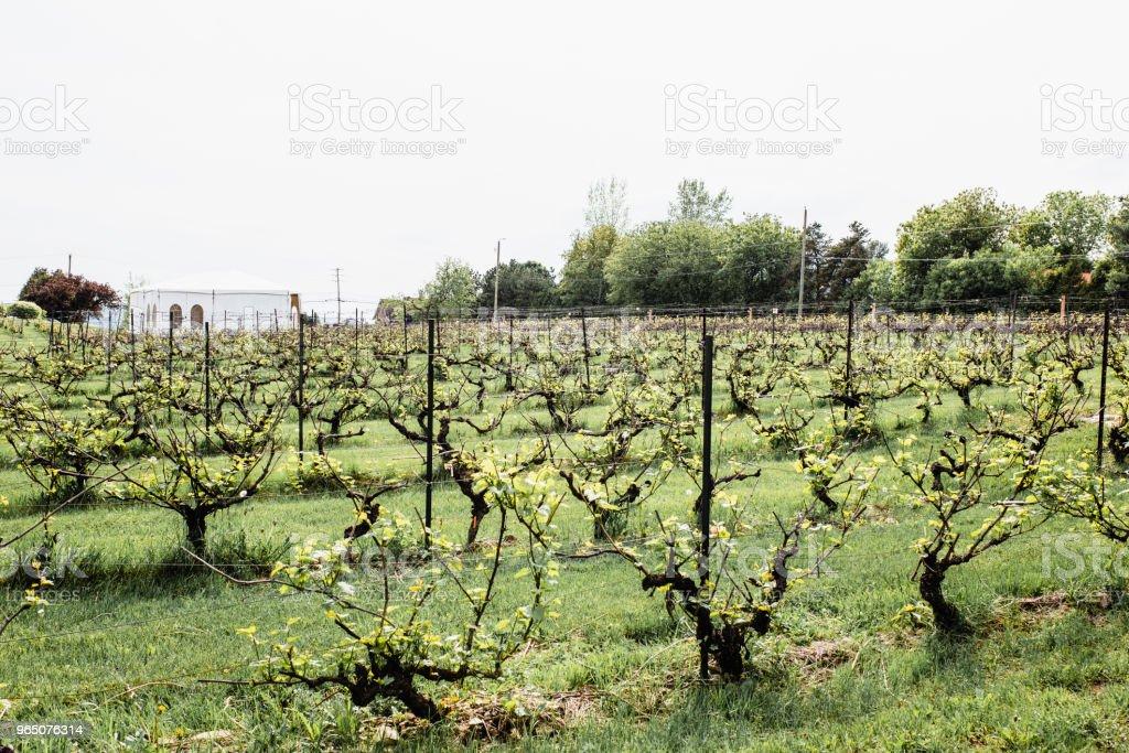Vineyard in Saint-Joseph-du-Lac, Quebec zbiór zdjęć royalty-free