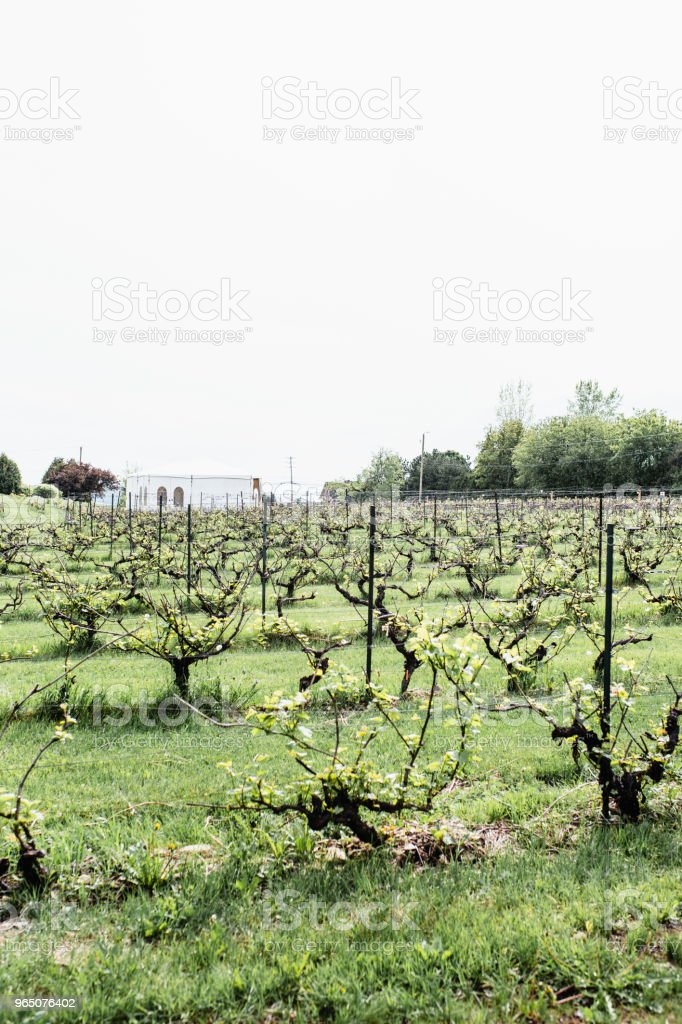Vineyard in Saint-Joseph-du-Lac, Quebec royalty-free stock photo