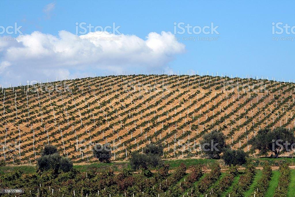 Vineyard in Sicily royalty-free stock photo