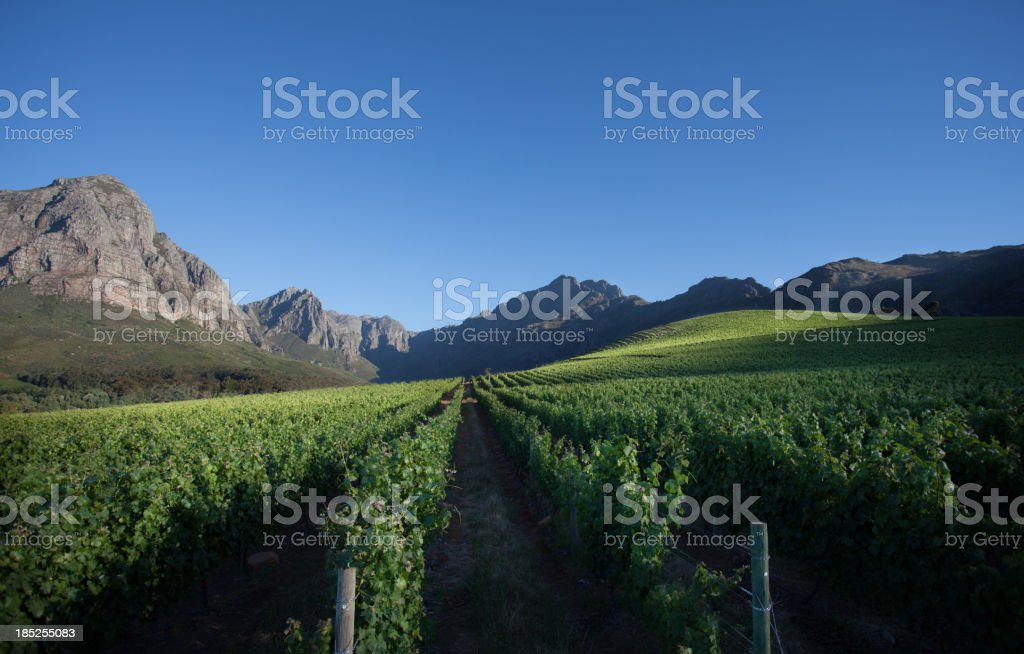 Vineyard in South Africa stock photo