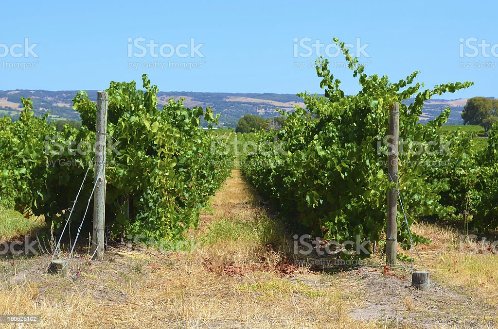 Vineyard in South Australia royalty-free stock photo