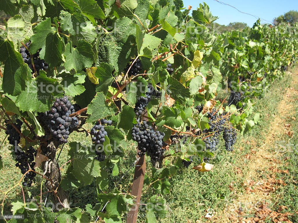 Vineyard in Southern France stock photo