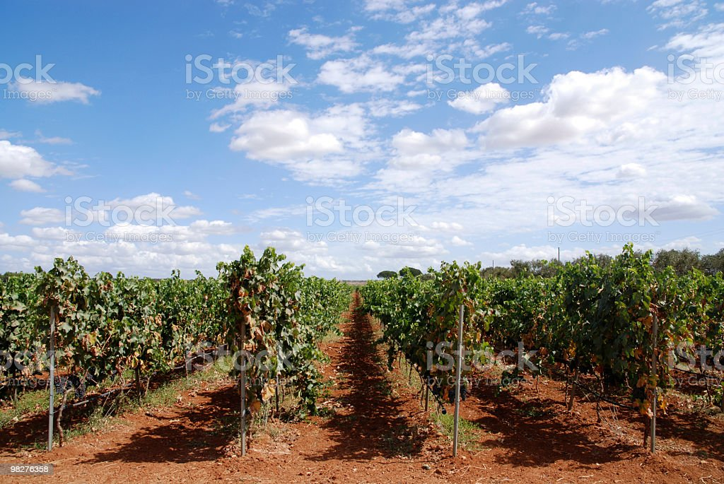 vineyard in southern Italy with tipical red terra royalty-free stock photo