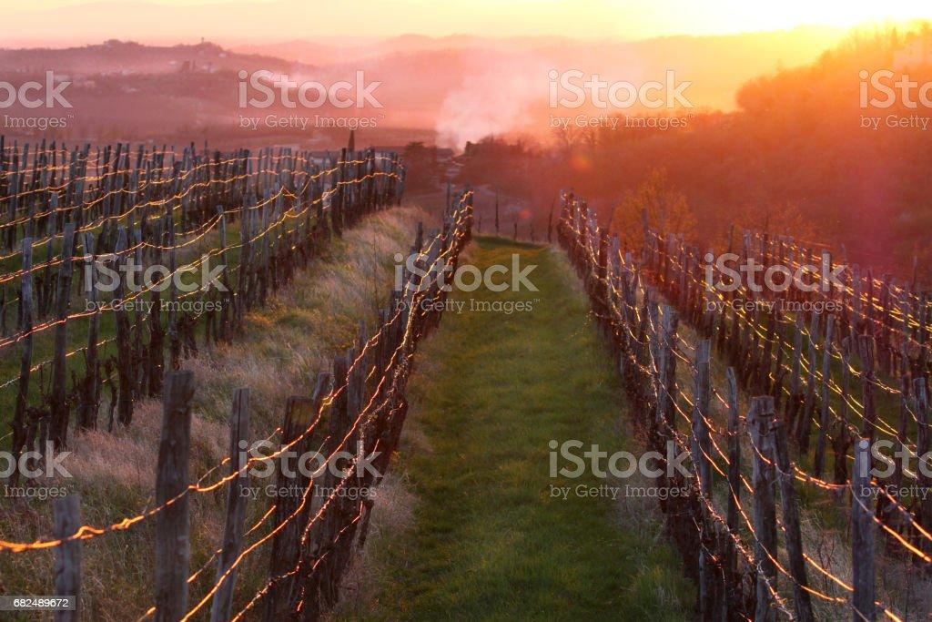 vineyard in spring light royalty-free stock photo
