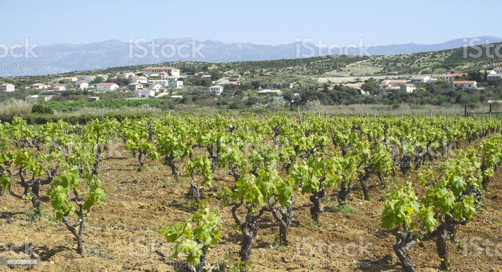 Vineyard in spring near the Kolan, Island of Pag, Croatia stock photo