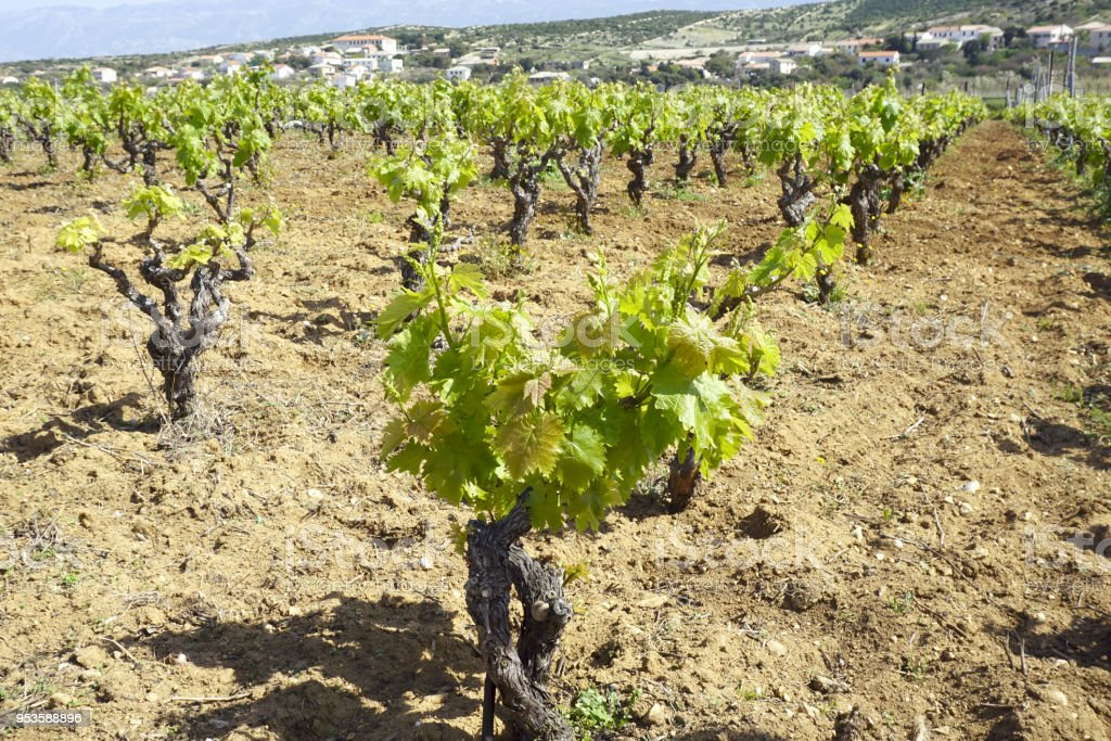 Vineyard in spring, old grape variety characteristic of the Croatian islands stock photo