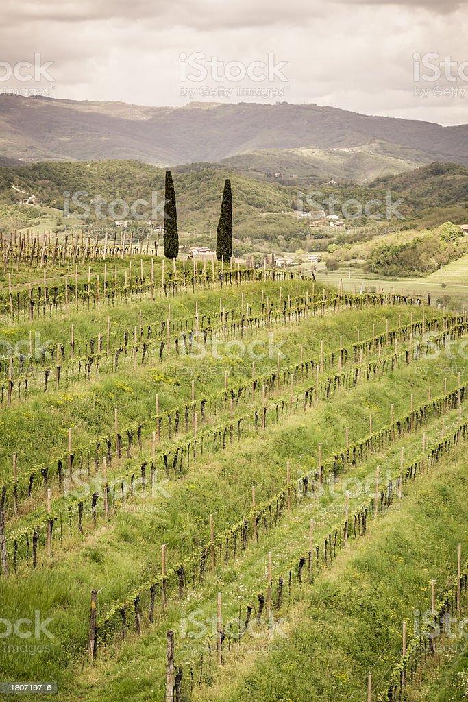 Vineyard in spring royalty-free stock photo