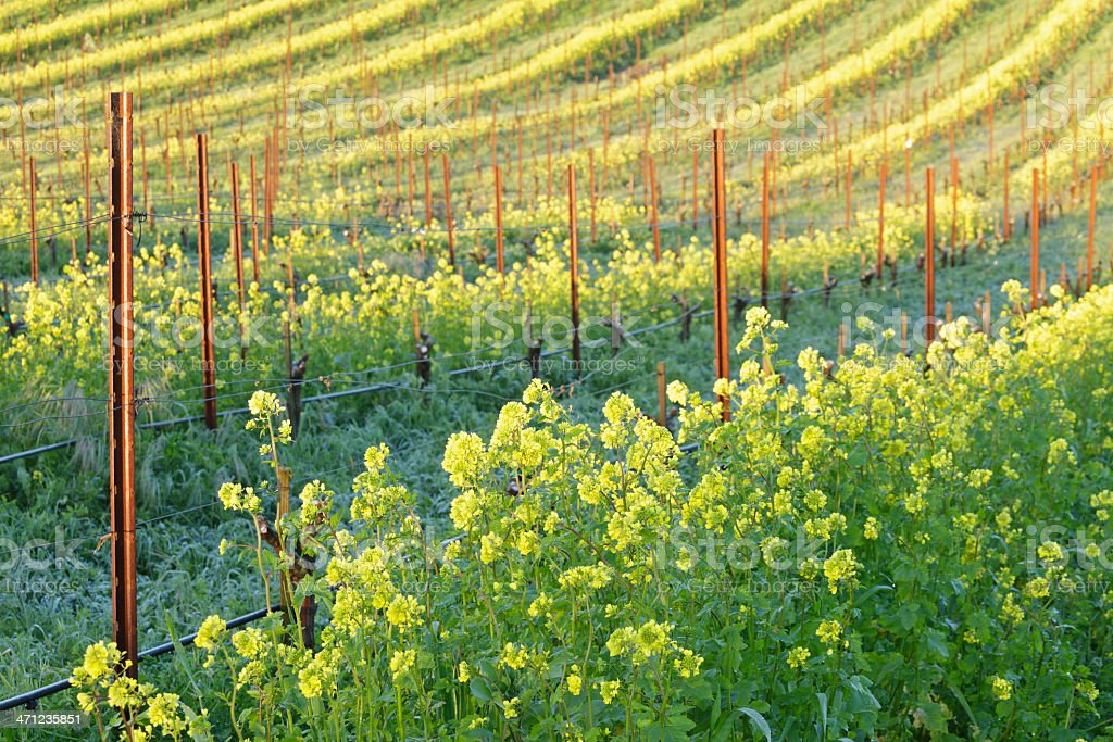 Vineyard in Spring royalty-free stock photo