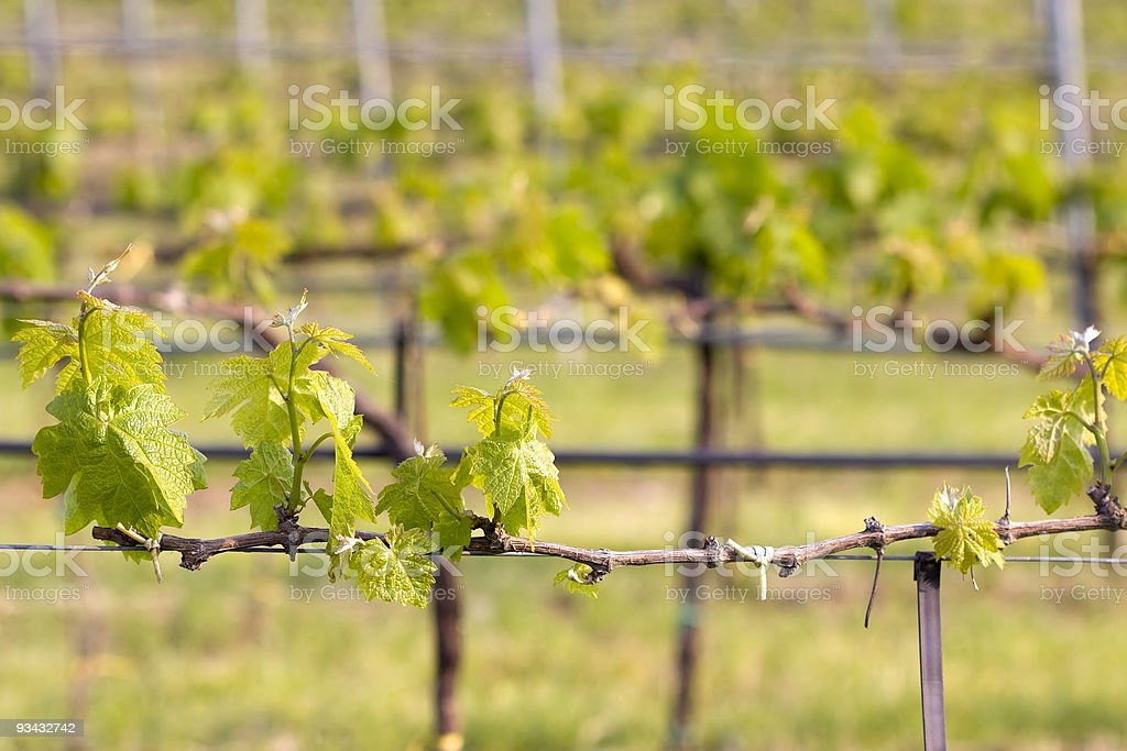 Vineyard im Frühling Lizenzfreies stock-foto