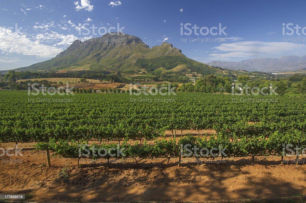 Vineyard in stellenbosch, South Africa stock photo