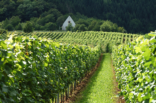 vineyard in summer at Mosel Valley