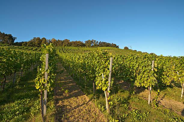 Vineyard im Sommer – Foto