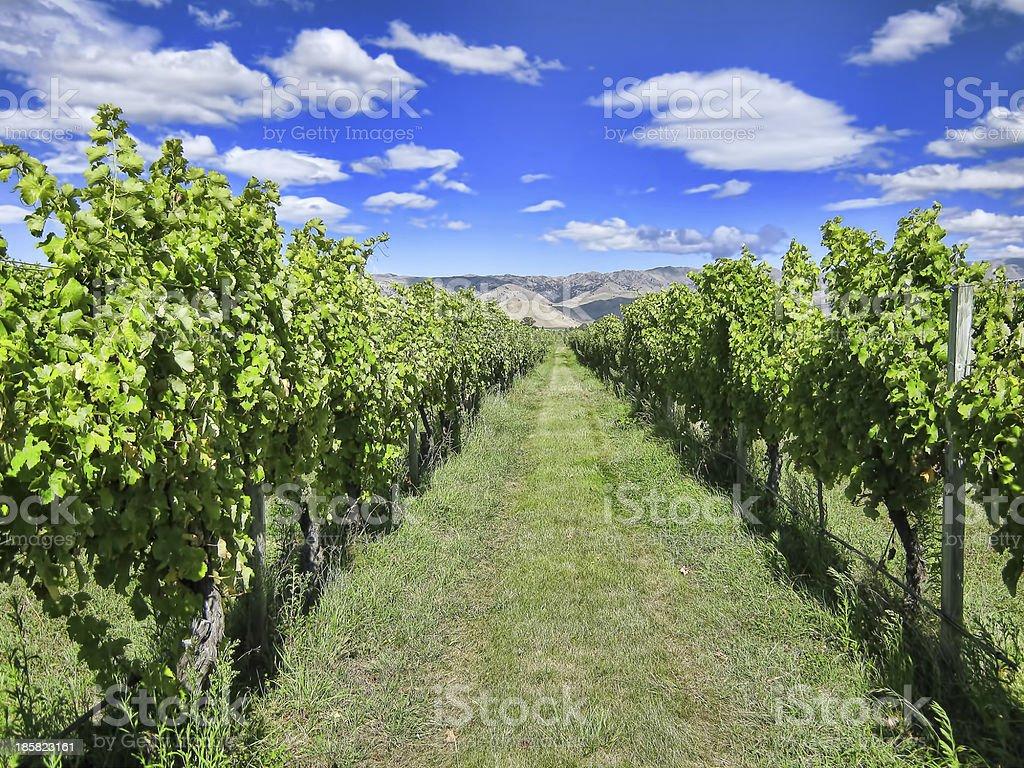Vineyard in Summer royalty-free stock photo