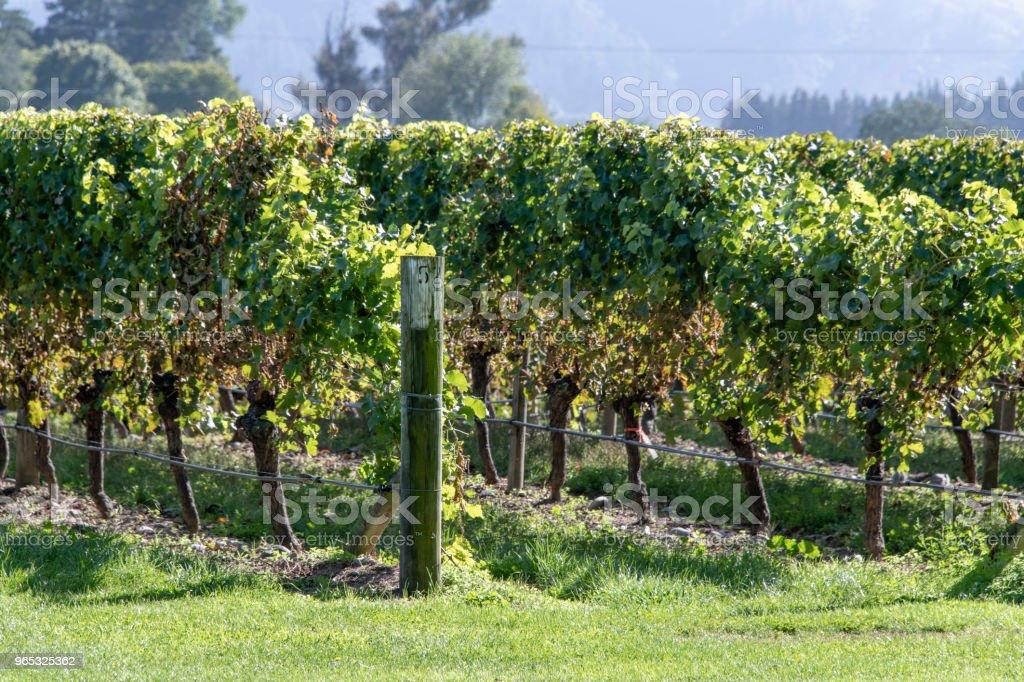 Vineyard in the autumn zbiór zdjęć royalty-free