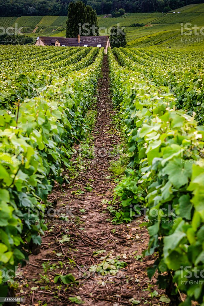 Vineyard in the Champagne region of France stock photo